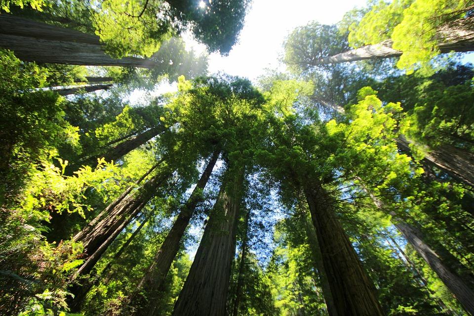 Qual è l'albero più alto del mondo?