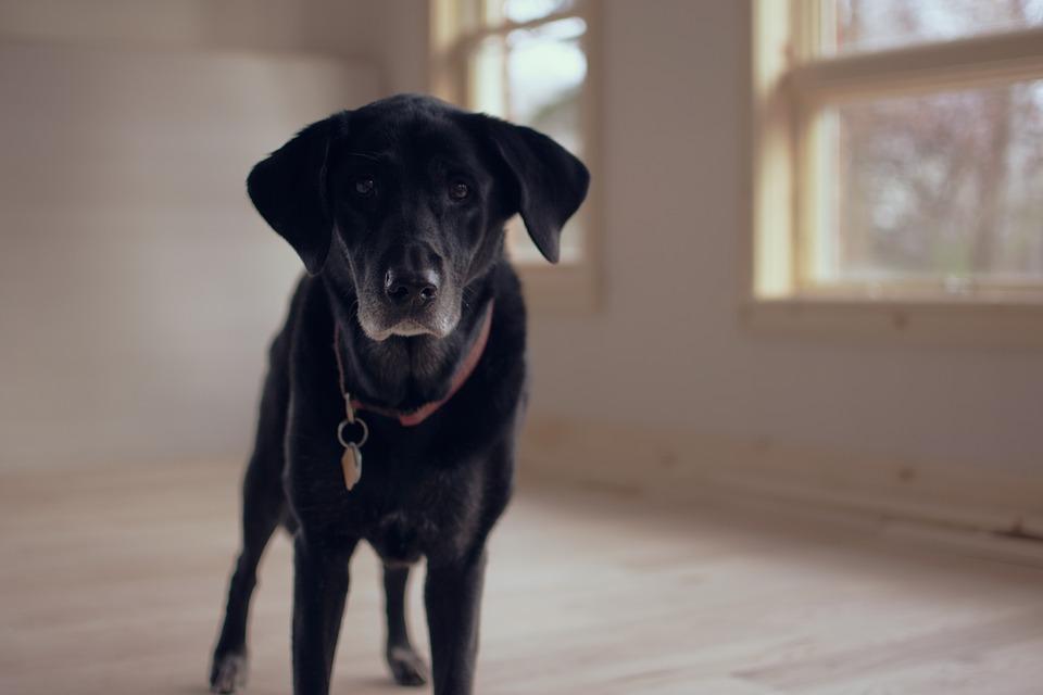 Uno studio rivela che lo stress fa imbiancare anche i cani prima del tempo. Vediamo insieme tutti i dettagli
