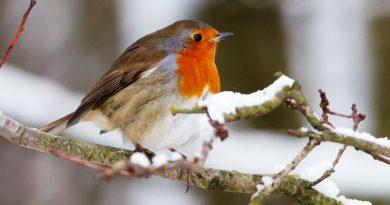 Come fanno gli uccelli che non migrano a difendersi dal freddo?
